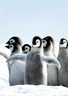 """51 Baby Penguin Photos, Videos, and Facts That Will Have You Saying """"Awwww! Cute Funny Animals, Cute Baby Animals, Animals And Pets, Animals Images, Wild Animals, Penguin Love, Penguin Craft, Cute Baby Penguin, Penguin Pictures"""