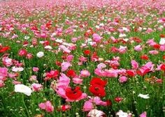 Amazon.com : 1 Million Shirley Poppies Seeds for Garden, Pasture, Roadside and Pots! : Patio, Lawn & Garden