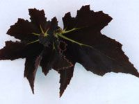 Begonia - Black Fang Smooth ruffled, spiraled black leaves with prominent light green veins radiating from base of leaf, pink stems. Pink flowers. Compact grower.