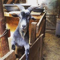 Oh hai. . Repost @winslowsfarm Wendell! Grown and ornery as ever. . #goat #goatsofinstagram #farmlife #farm #farmanimals #lifeonthefarm #lifeonafarm #ornery #orneryboy #ornerygoat #augusta #missouri #cuteanimals #saturdayfun