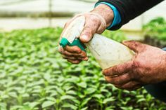 Using insecticidal soap on plants is an effective, inexpensive and eco friendly way to kill soft bodied pesky insects like aphids, mealybugs, whiteflies, spider mites, sugar ants etc. The fatty acids in insecticidal soap, dissolve their natural waxy coating and cause dehydration in them. Either you can …