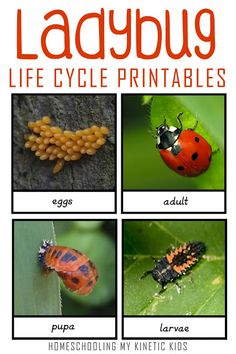 Free printable for lady bug life cycle set // Homeschooling My Kinetic Kids // montessori // howisafari // safari ltd ideas // sensory bin // springtime