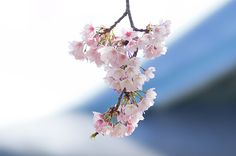 のんくり日和: 【谷中】NEX-5を持って桜散歩(興禅寺の桜 編)