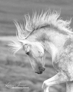 The wild stallion Cloud who lives in the Pryor Mountains of Montana, postures in front of a rival stallion at the edge of the cliff, mane flying.