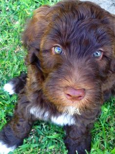 Sketch the Poodle Mix  -- Puppy Breed: Poodle / Wheaten Terrier