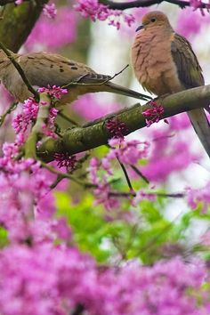 Springtime: doves in Redbud tree. Spring Song, Spring Day, Clock Spring, Forest And Wildlife, Bird House Feeder, Mourning Dove, Spring Pictures, Bird Cages, Spring Has Sprung