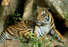 indochinese tiger--