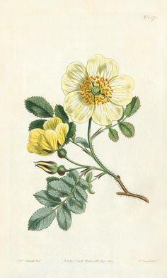 William Curtis Botanical Prints 1787-1826 Hip stemmed rose