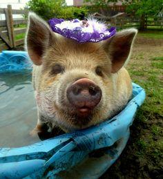 A KuneKune pig.