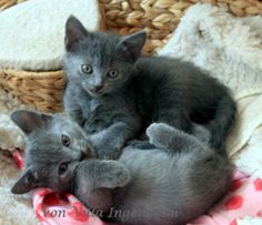 Chartreux Kartäuser Kitten