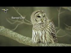 Learn their calls and listen for them. Even if you can't see an owl, chances are you'll hear them. Here's a video with common North American owl calls.