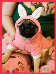 The most adorable Easter pug puppy bunny!