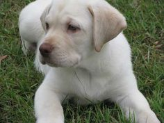 white labradors, wanted one for years now...