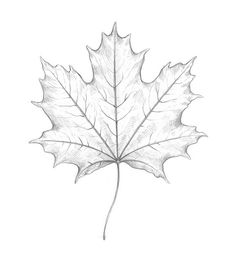 Leaf Pencil Shading - Art is not just a word to some individuals, sometimes it is usually feelings or one simply becomes happy when they either notice. Leaf Drawing Easy, Four Leaf Clover Drawing, Maple Leaf Drawing, Pencil Art Drawings, Animal Drawings, Easy Drawings, Fall Leaves Tattoo, Lion Tattoo Meaning, Scientific Drawing