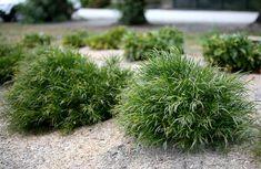 Acacia Bronze Cascade by Bush Magik Australian Plants, Backyard Seating, Sun Plants, Dwarf, Acacia, Herbs, Bronze, Landscape, Gardens