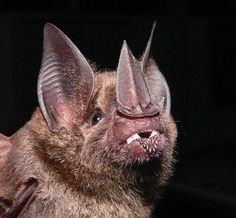 Lesser spear-nosed bat - Colombia