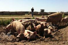 Gruppensuhlen (Schweine können nicht schwitzen)