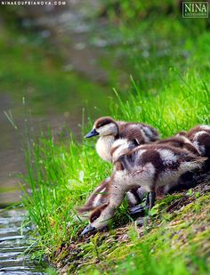 Onward! Ducklings Practice Swimming outside of the New Maiden Convent, Moscow, Russia.