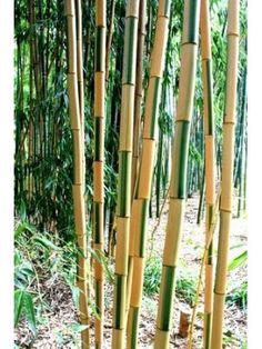 Bambou Phyllostachys bambusoides Castillonis