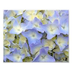 Pretty and Colorful Light Blue Hydrangea Flowers Photo Print - light gifts template style unique special diy