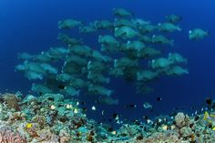 Today, with a sense of urgency and some impressive partners, the National Geographic Society's Pristine Seas project begins a bold new effort to save the last wild places in the oceans.