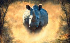 Download wallpapers rhino, 4k, Africa, running, rhinoceros, wildlife, dust
