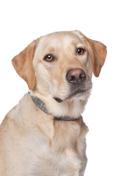 Yellow labrador retriever dog in front of a white background Cute Animal Pictures, Dog Pictures, Golden Retriever Labrador, Labrador Retrievers, Golden Retrievers, Cute Puppies, Dogs And Puppies, Dog Heaven, Man And Dog