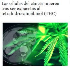 Cristina Sánchez, una joven bióloga de la Universidad Complutense de Madrid, realizó un hallazgo que la dejó atónita. Los cannabionoides de la marihuana inhiben el desarrollo del cancer, lo que se traduce en un tratamiento alternativo no agresivo y eficaz para el enfermo//''La científica española estudiaba el metabolismo celular cuando fue sorprendida por qué las células cancerígenas morían tras ser expuestas al (THC), ingrediente activo de la marihuana''.