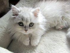 White napoleon kitty. (Munchkin x Persian)