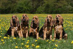 Google Image Result for http://www.pedigree.sk/img/plemena/115/bloodhound_1.png
