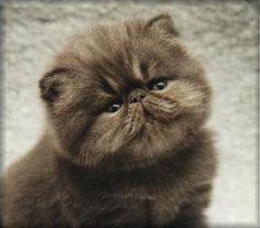 Blue Persian Kitten @Brittany Horton Horton Horton McCormick