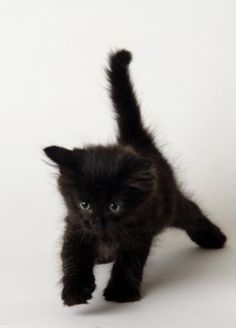 Black kitten prowler! So cute. Incensewoman