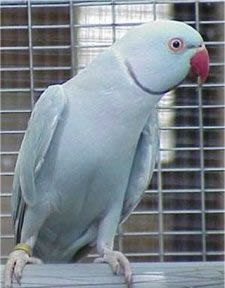 Male Blue Cinnamon Mutation of the Indian Ringneck Parakeet.