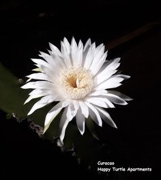 5 knoppen in de Dama di Anochi. Gister avond bloeide de eerste. @Happy Turtle Apartementen @Curacao Happy Turtle, Dandelion, Flowers, Plants, Dandelions, Plant, Taraxacum Officinale, Royal Icing Flowers, Flower