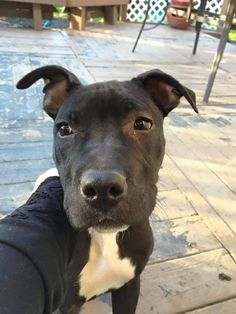 Meet Monkey, a Petfinder adoptable Pit Bull Terrier Dog   Germantown, OH   This is Ms. Monkey!  Monkey is new to our rescue and boy, has she stolen our hearts already! ...