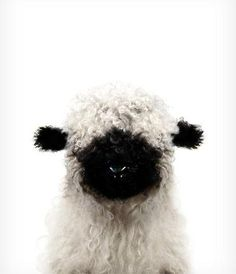 Baby Blacknose Sheep Print