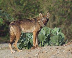 Arabian Wolf [Canis lupus arabs] Grey Wolf subspecies