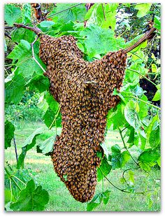What a swarm of honey bees looks like.