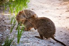 """""""Be my valentine?"""" Rottnest Island's resident #quokkas are feeling the love today. With crystal clear beaches clean white sand and hours of sunshine we think #Perth's own island paradise would have to be one of the most romantic settings in the world. Photo credit: Drew Bandy. #thisisWA #westernaustralia #SeePerth #SeeAustralia #valentinesday #rottnestisland by westernaustralia http://ift.tt/1L5GqLp"""