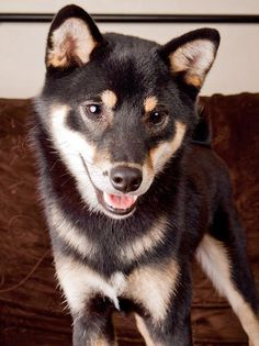 Shiba Inu mix! Look at that smile...