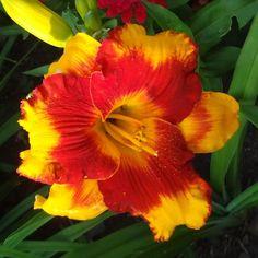 Photo of the bloom of Daylily (Hemerocallis 'Adorable Tiger') Exotic Flowers, Tropical Flowers, Beautiful Flowers, Hawaiian Flowers, Cactus Flower, Purple Flowers, Daylily Garden, Sun Perennials, Peonies Garden