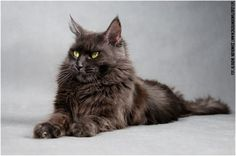 LIL MOCCA - MAINE COON