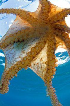 Octopus--Oceanography Photography www. Under The Water, Under The Ocean, Sea And Ocean, Underwater Creatures, Underwater Life, Ocean Creatures, Kraken Octopus, Beneath The Sea, Tier Fotos