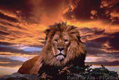 Carnivora, Panthera leo, Mähne, Raubtiere, Herrlich