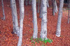 Hayedo en otoño en la Sierra de la Demanda #LaRiojaApetece