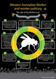 Winter studies: Social organisation of a honeybee colony and worker policing