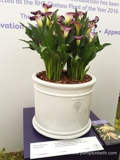 Zantedeschia 'Nashville' is a compact plant that grows well in containers, in a sunny, to partially shaded position of the garden. Container Plants, Container Gardening, Zantedeschia, Chelsea Flower Show, Colour Combinations, Gerbera, Chrysanthemum, Shades Of Purple, Nashville