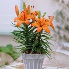 Image result for potted plants salmon lilies