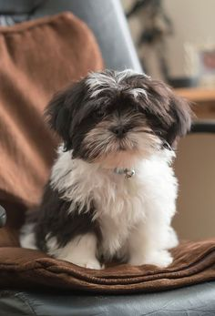 Shih Tzu Puppy LOVE SHIH TZU?? visit our website now! Love Your Dog? Visit our website NOW!