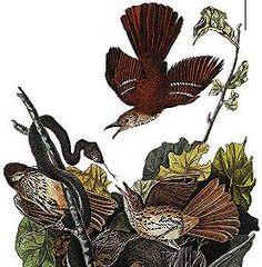 Georgia State Bird - Brown Thrasher - Ferruginous Mockingbird